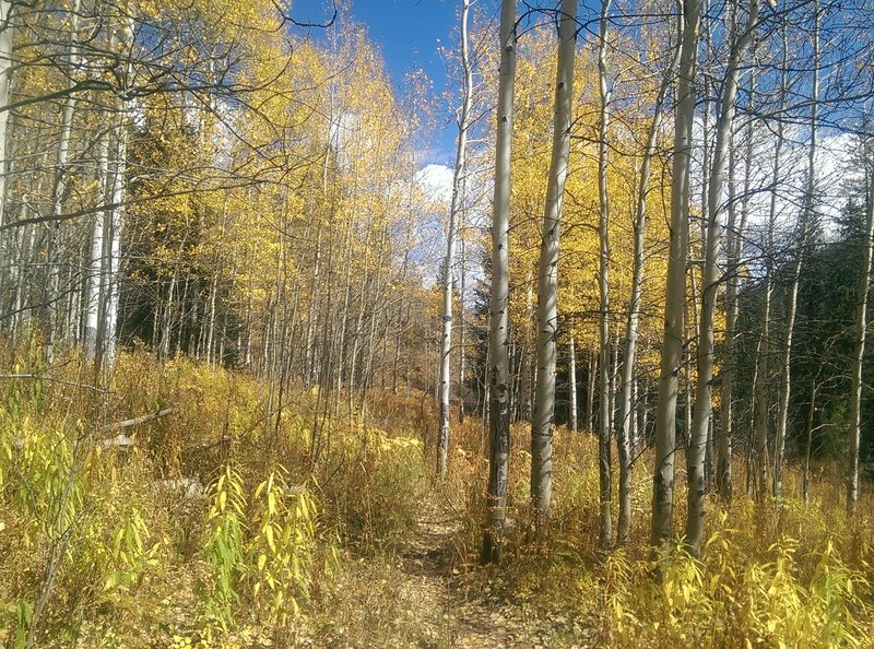 Nice stand of aspen trees along this section of trail