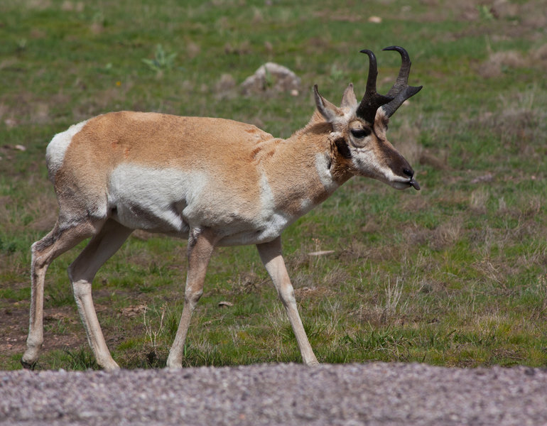 Pronghorn at Wind Cave NP.