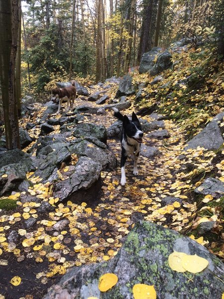 Happy aspens and the dogs, or happy dogs and the aspens.
