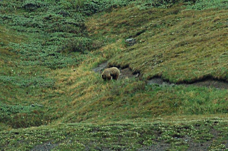 Brown Bear near Alpine Trail, Denali National Park.