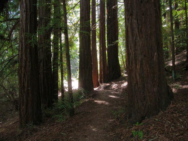 Huddart Park Crystal Springs Trail resplendent with redwoods.