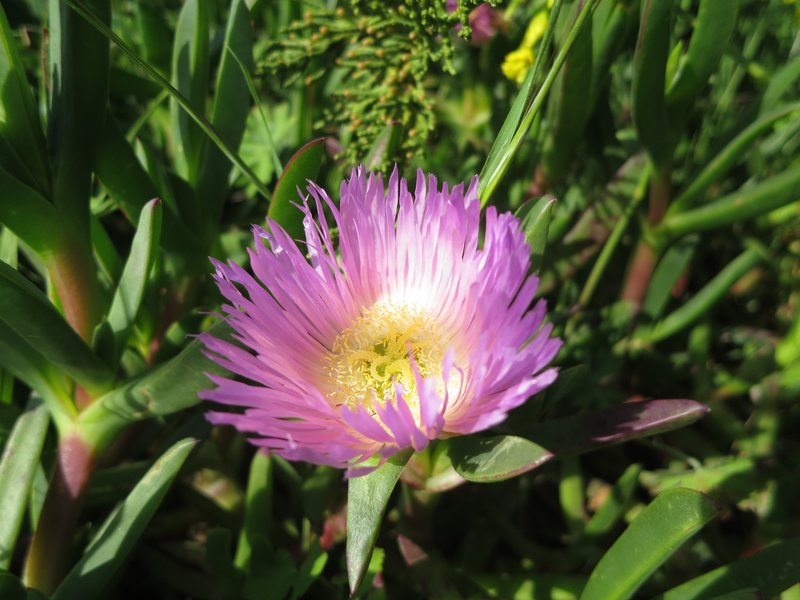 Iceplant in bloom.
