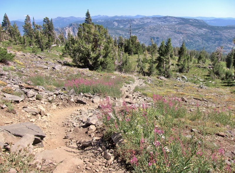 Wildflowers on Mt Tallac Trail