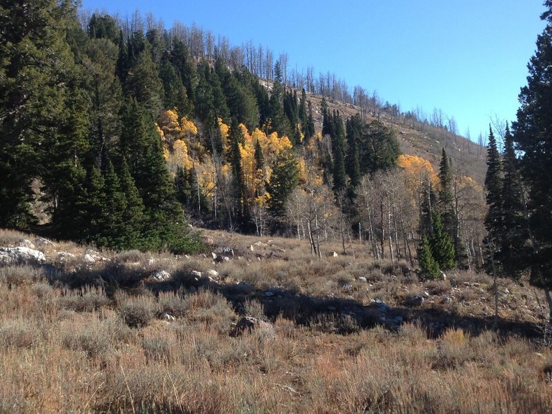A small stand of beautiful aspens up White Pine Canyon