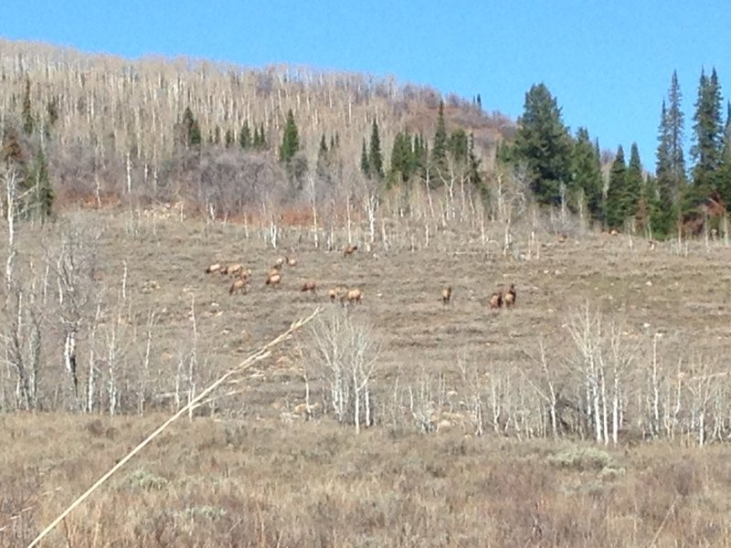 A small group of elk near the White Pine Canyon Trail.