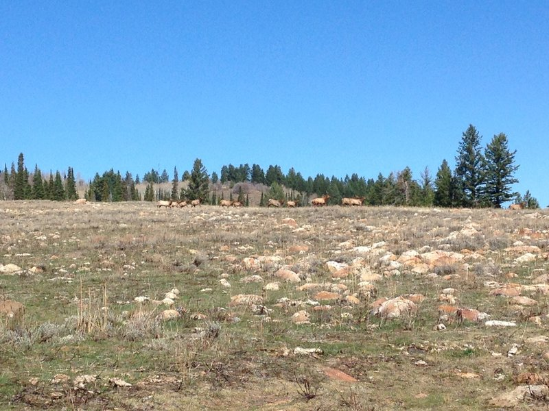 Elk running through the rocky meadow near the White Pine Canyon Trail.