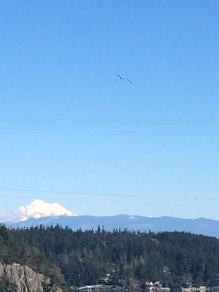 Bald Eagles flying over with Mt. Baker in the Distance from Deception Pass