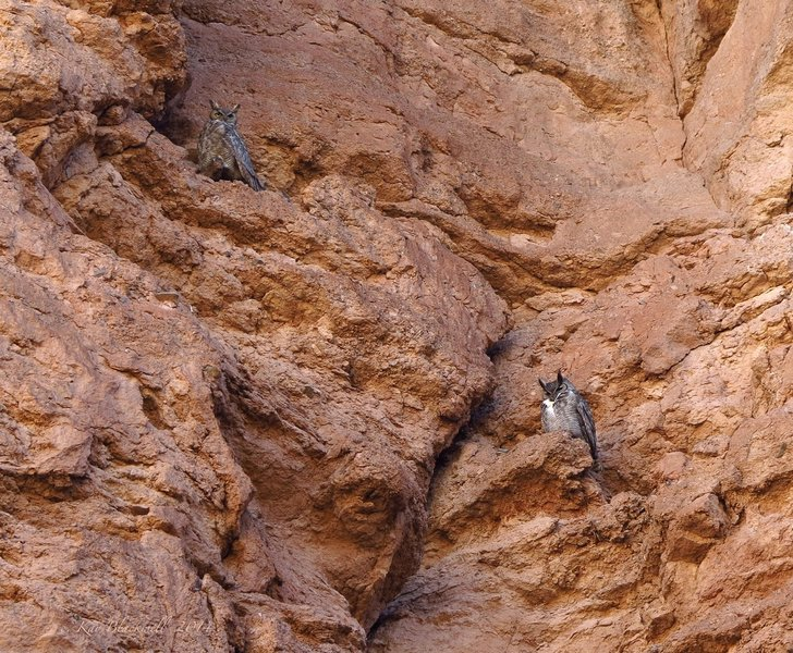 Horned owls in White Owl Canyon.