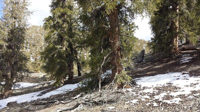 Methuselah Loop Trail.