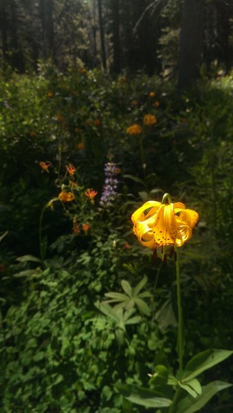 Leopard lily and lupine broadleaf.