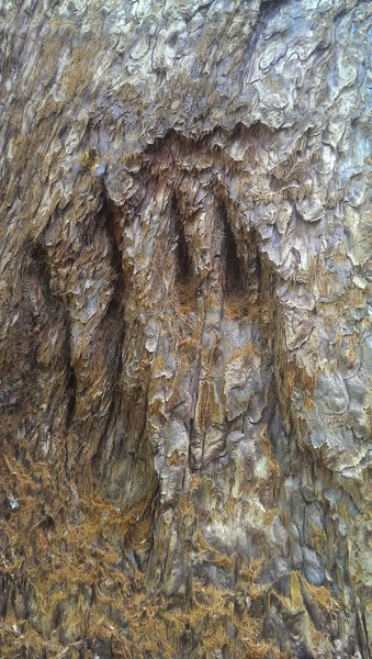 Bear Paw in Sequoia.