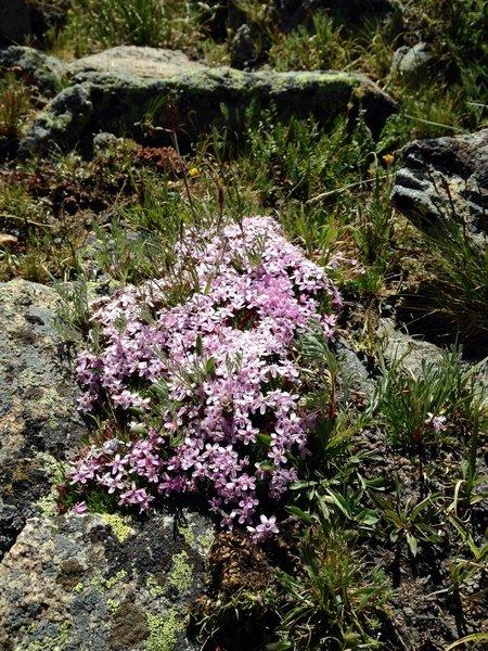 Tundra flowers on the Tundra Communities Trail.