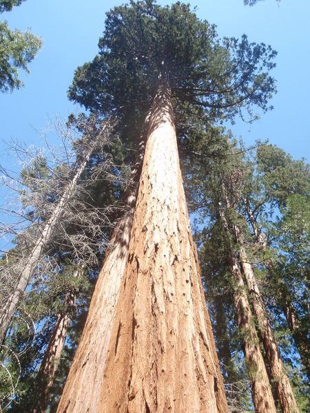 Sequoia National Park. Congress Trail.