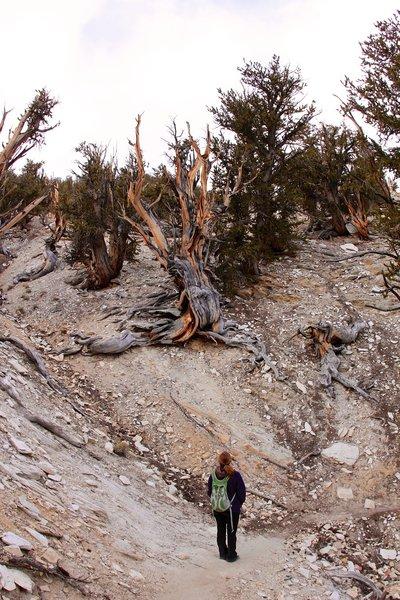 Watching the death bristlecone pine tree.