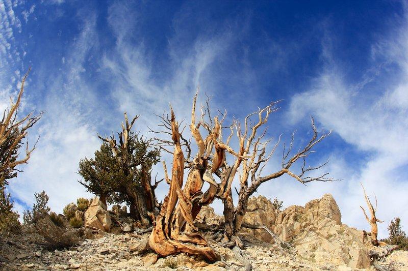 Bristlecone pine and sky.