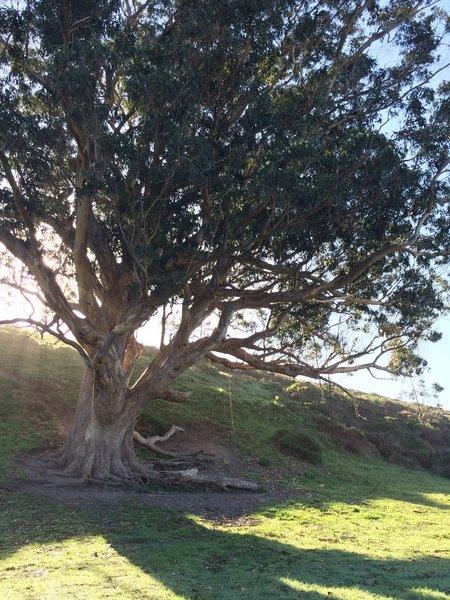 Swing on the Giant Eucalyptus Tree.