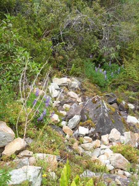 Native lupine along the trail.
