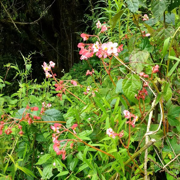 Native begonias along the trail.