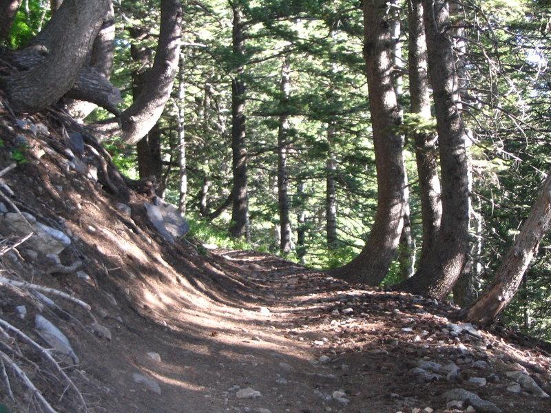 beautiful forest along Skyline Trail