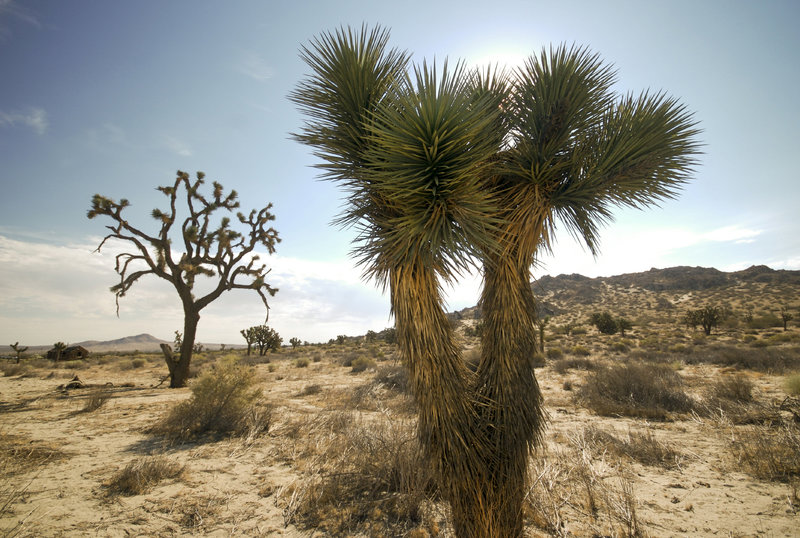 Some beautiful Cholla Cactus.