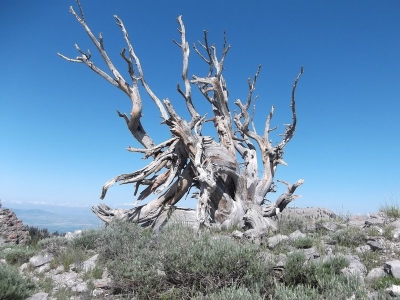 A gnarly juniper up on top of Mount Elmer, as seen from the Naomi Peak National Recreation Trail.