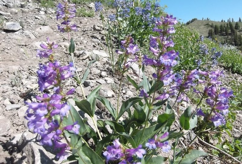 More beautiful alpine wildflowers can be found sprinkled along the Naomi Peak National Recreation Trail.