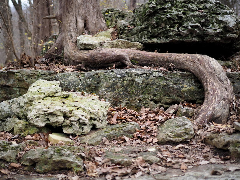 Tree roots along the Chubb Trail.