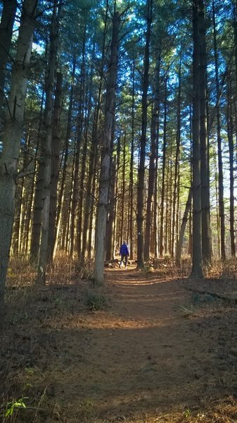 The Boord State Nature Preserve Trail heading through a quiet section of pines.