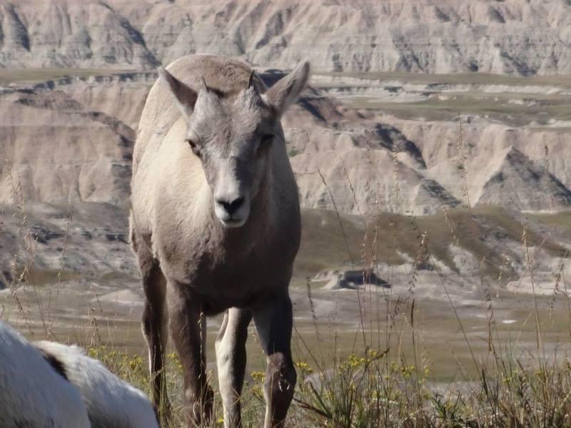 Badlands National Park - Bighorn Sheep.
