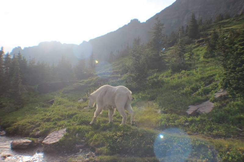 This goat would not leave us alone on the Granite Park Trail!