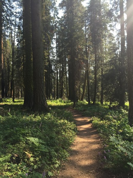 The beautiful (and short) Crescent Meadow Trail is surrounded by sequoia trees and is a nice, leisurely way to tour around the loop.