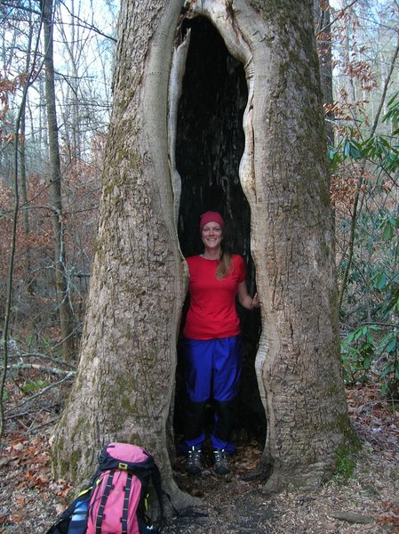 Old growth Tulip Poplar on the Boogerman Trail.