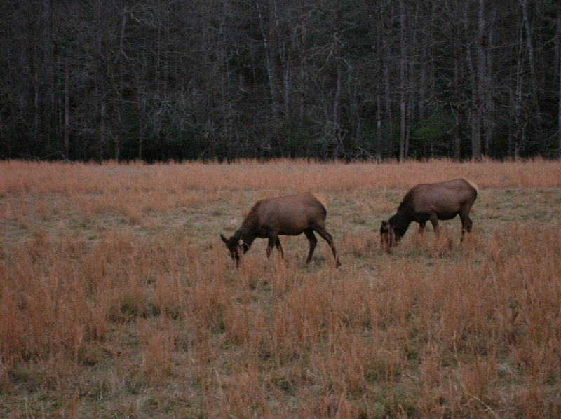 Elk grazing in the Cataloochee Valley.