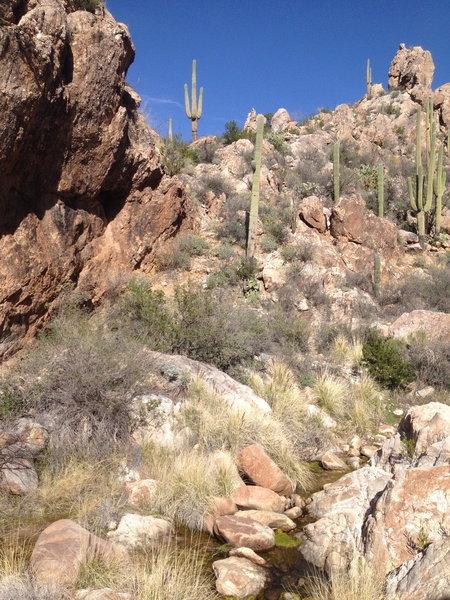 Saguaro abound on the Romero Canyon Trail.