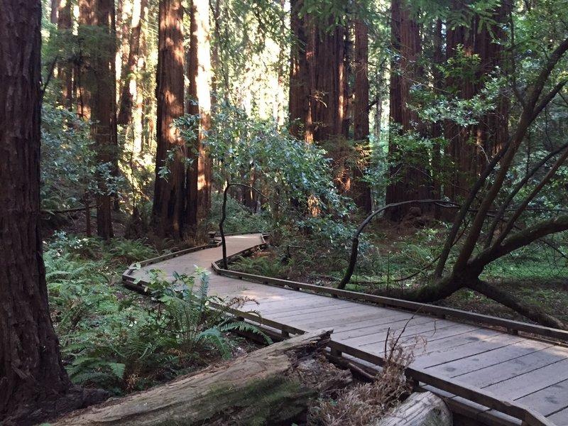 Boardwalk through giant trees