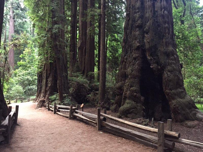 Giant trees.