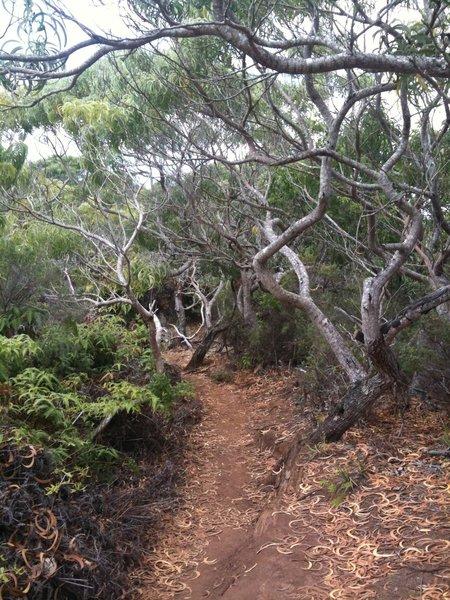 Awaawapuhi Trail.