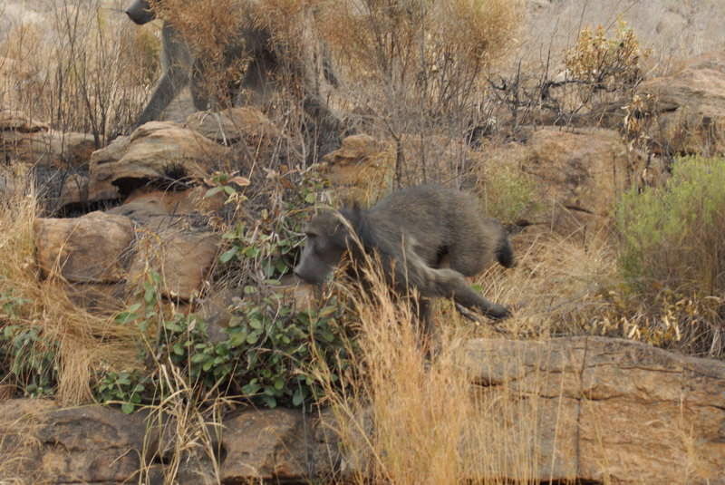 WARNING: Baboons are vicious. They are not animals to mess with and will not hesitate to attack humans. They are as big as humans as well and have some gnarly teeth. If you see one, head back to the trail immediately.