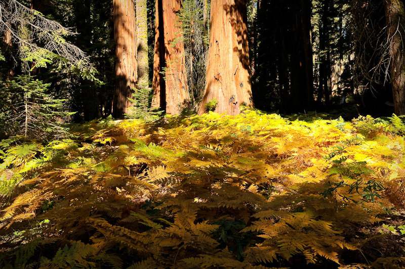 Ferns and Sequoia trees, Crescent Meadow Loop Trail.