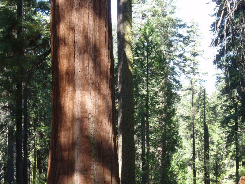 The Toulumne Grove Trail shows off the local sequoia population.
