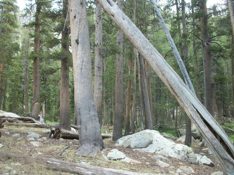 Some lodge pole pines and granite along the trail.