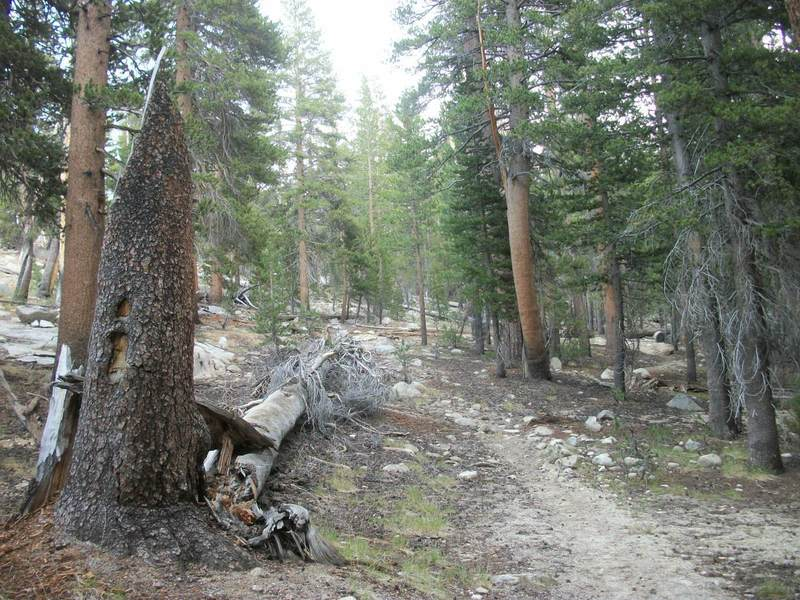 """The remaining trunk of a dead lodge pole pine with a """"candlelight"""" marks where the trail begins to climb."""