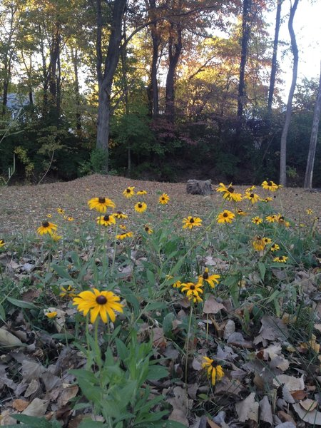 In late summer, there are often wildflowers on the County Crossing Trail.