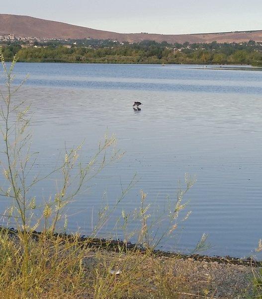 Bird in the Columbia River.