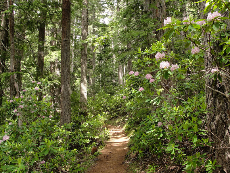 Pacific rhododendron (Rhododendron macrophyllum) on Olympic National Forest Mount Townsend Trail.