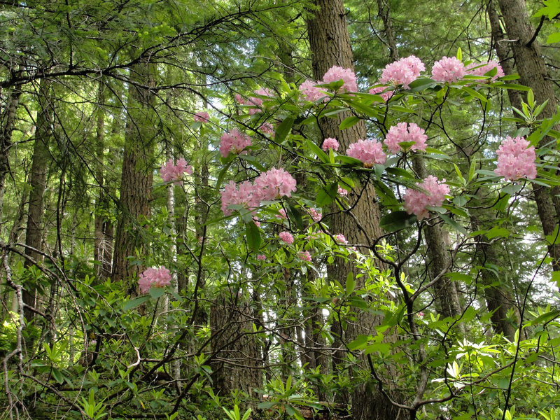 Pacific rhododendron (Rhododendron macrophyllum) on Mount Townsend Trail.