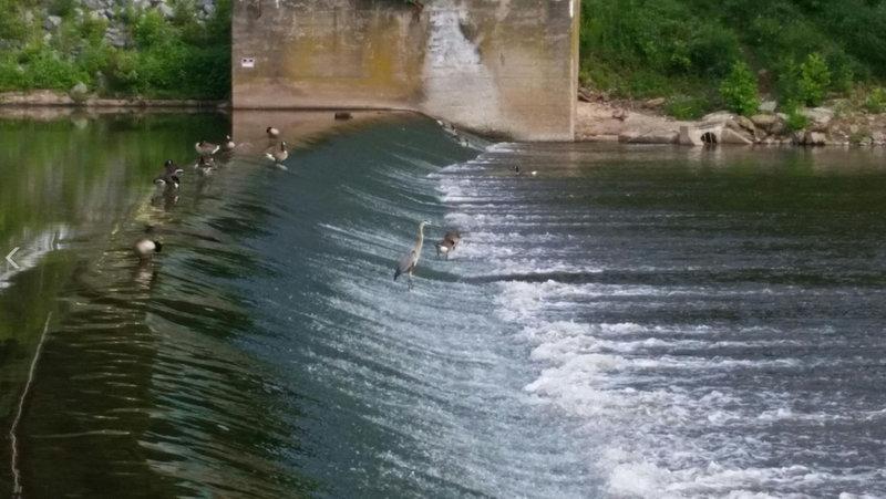 Geese and a heron in the Perkiomen Creek.