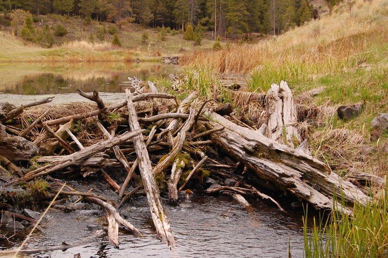 Beaver ponds!
