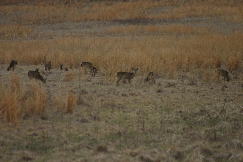 Deer at Valley Forge National Park.