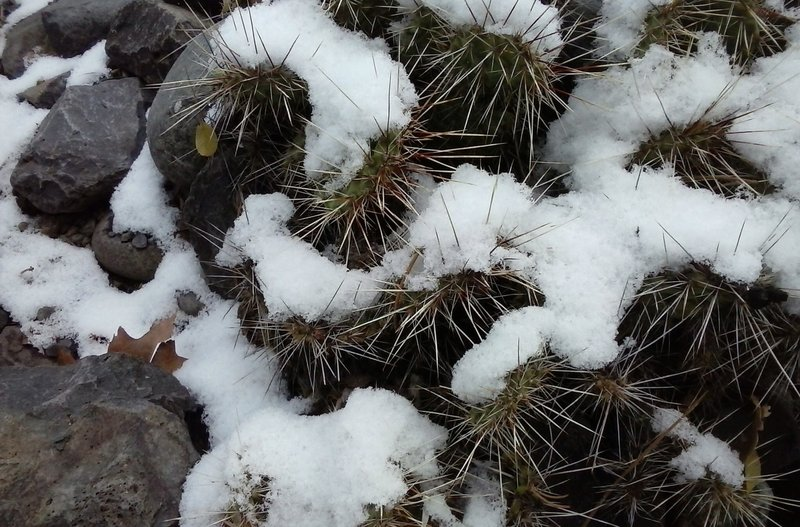 Cacti dusted with snow.